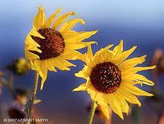roadside_daisies_6009